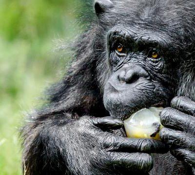 Chimpansees Verzorgen Overleden Soortgenoten Intensief